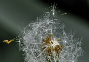 dandelion-411756_640