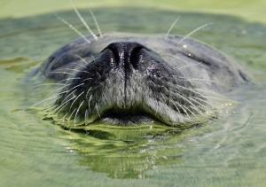 seal emerging
