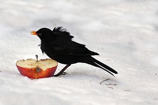crow apple